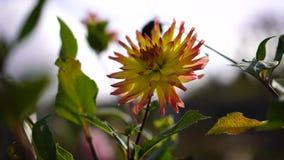 Bloemenbeweging zacht in de wind stock videobeelden