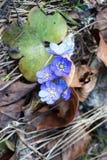 Bloemenblauw bij het dendrological park van Gurahont Royalty-vrije Stock Afbeeldingen