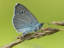Bloemenblauwtje,绿色下面蓝色, Glaucopsyche亚历克西斯 库存图片