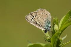 Bloemenblauwtje,绿色下面蓝色, Glaucopsyche亚历克西斯 库存照片