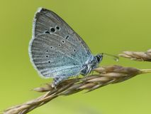 Bloemenblauwtje, azul del Verde-superficie inferior, Glaucopsyche Alexis imagenes de archivo