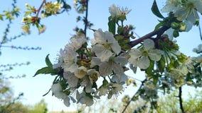 Bloemenbloesems op de Takken Cherry Tree stock footage