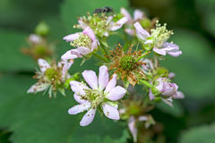 Bloemenbraambes Stock Afbeelding