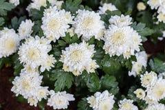 Bloemenchrysant, Chrysantenbehang, chrysanten in de herfst Royalty-vrije Stock Foto