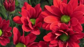 Bloemenchrysant in de tuin stock footage
