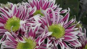 Bloemenchrysant in de tuin stock videobeelden
