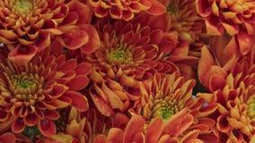 Bloemenchrysant in de tuin stock video