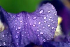 Bloemendauw, waterdalingen, bloemblaadjesversheid Stock Foto