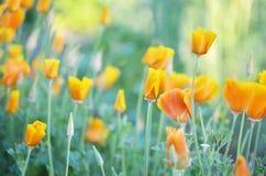 bloemeneschscholzia op de achtergrond van het de zomerlandschap Royalty-vrije Stock Afbeelding