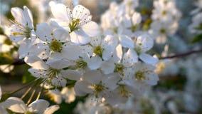 Bloemenkers het bloeien Witte bloemsakura Boom het bloeien nave stock videobeelden