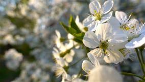 Bloemenkers het bloeien Witte bloemsakura Boom het bloeien nave stock video