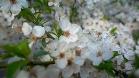 Bloemenkers het bloeien Witte bloemsakura Boom het bloeien nave stock footage