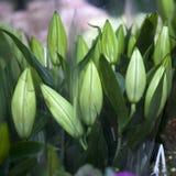 Bloemenknoppen van liliumbloem Royalty-vrije Stock Afbeeldingen