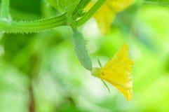 Bloemenkomkommer op boom Stock Foto's