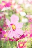 Bloemenkosmos kleurrijk in het park, bloemen kleurrijk met sunli Stock Afbeeldingen