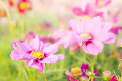 Bloemenkosmos kleurrijk in het park, bloemen kleurrijk met sunli Royalty-vrije Stock Afbeelding
