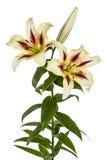 Bloemenlelie, lat Lilium Oosterse Hybriden royalty-vrije stock afbeelding