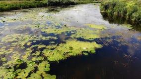 Bloemenlelies op de rivier stock footage