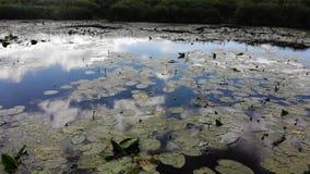 Bloemenlelies op de rivier stock videobeelden