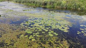 Bloemenlelies op de rivier stock video
