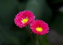 Bloemenmadeliefjes Royalty-vrije Stock Afbeeldingen