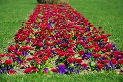 Bloemenmadeliefjes Stock Foto