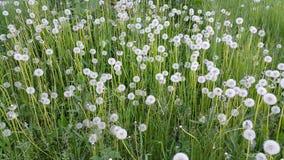 Bloemenpaardebloemen Royalty-vrije Stock Afbeeldingen
