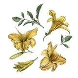 Bloemenreeks waterverf daylilies en bladeren Stock Foto's