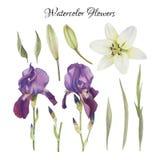 Bloemenreeks waterverfirissen, lelie en bladeren Royalty-vrije Stock Afbeelding