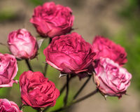 Bloemenrozen in de tuin. Stock Foto