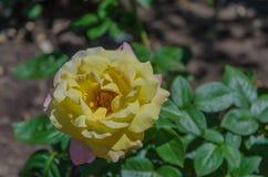 Bloemenrozen die in rozentuin bloeien Royalty-vrije Stock Foto's