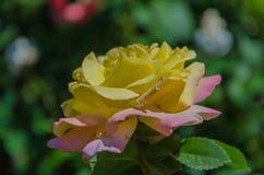 Bloemenrozen die in rozentuin bloeien Royalty-vrije Stock Foto
