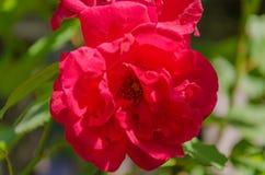 Bloemenrozen die in rozentuin bloeien Royalty-vrije Stock Fotografie