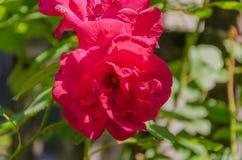 Bloemenrozen die in rozentuin bloeien Royalty-vrije Stock Afbeelding
