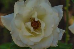 Bloemenrozen die in rozentuin bloeien Royalty-vrije Stock Afbeeldingen