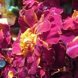 Bloemenschoonheid Royalty-vrije Stock Afbeeldingen