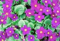 Bloemensleutelbloem Stock Fotografie
