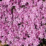 Bloementapijt - roze flox Stock Afbeelding