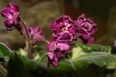 Bloemenviooltje Stock Fotografie