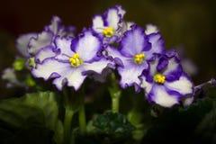 Bloemenviooltje Stock Foto