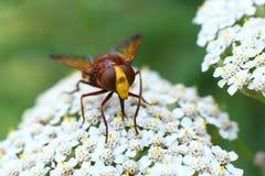 Bloemenvlieg het drinken nectar van een bloem Royalty-vrije Stock Foto