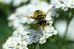 Bloemenvlieg het drinken nectar van een bloem Royalty-vrije Stock Fotografie