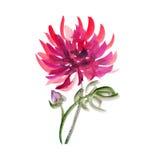 Bloemenwatercolourdahlia Royalty-vrije Stock Foto's