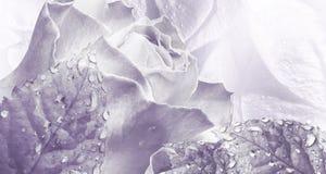 Bloemenwaterverf lichtpaarse achtergrond Nam bloemenclose-up toe royalty-vrije stock foto's