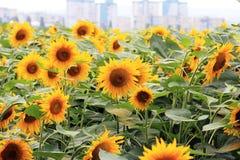 Bloemenzonnebloemen op een stadsachtergrond Royalty-vrije Stock Afbeelding