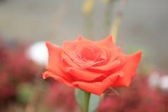 Bloemfoto's in de tuin stock afbeeldingen