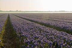 Bloemgebied van blauwe druiven in de ochtendzon royalty-vrije stock afbeeldingen