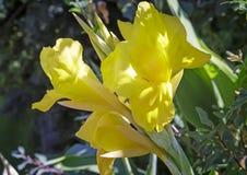 Bloemgeel lis in de tuin Stock Fotografie