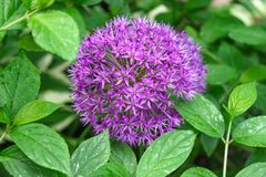 Bloemhoofd van Allium aflatunense Purpere Sensatie op groene aardachtergrond royalty-vrije stock foto's