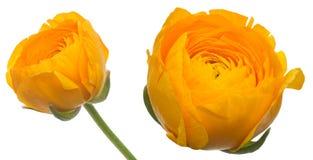 Bloemhoofd van Ranunculus royalty-vrije stock fotografie